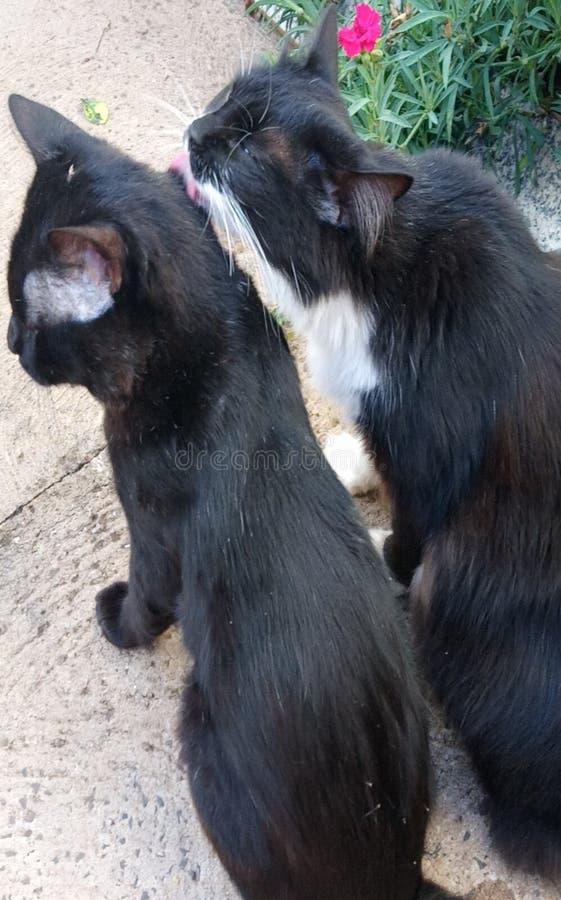 Un amour lèchent par des chats photos libres de droits