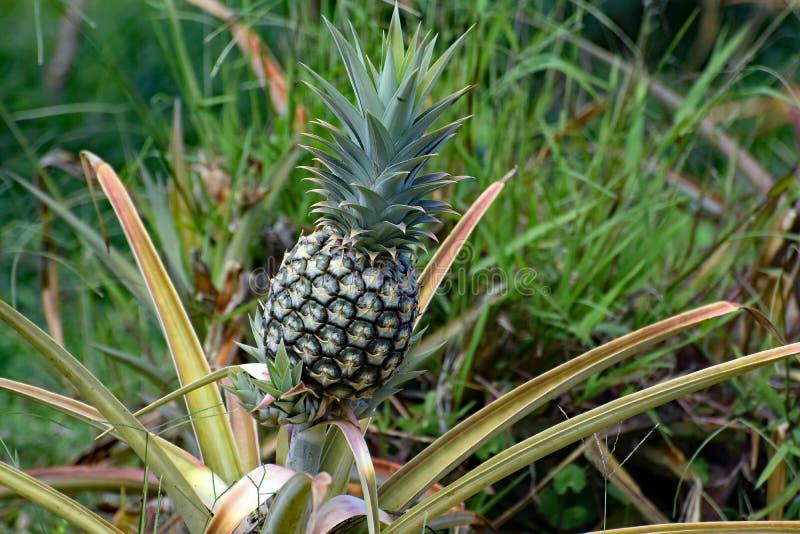Un ananas s'élevant dans une plantation photographie stock