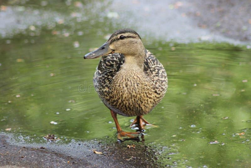 Un'anatra cammina in primavera in una pozza, un'anatra fotografia stock libera da diritti