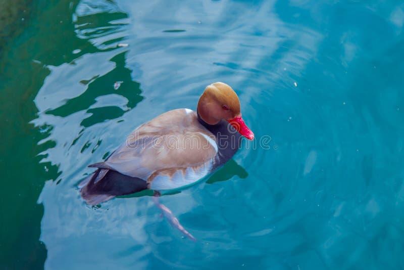 Un'anatra con la schiena marrone e un becco rosso nuota nell'acqua blu sul lago Garda fotografia stock