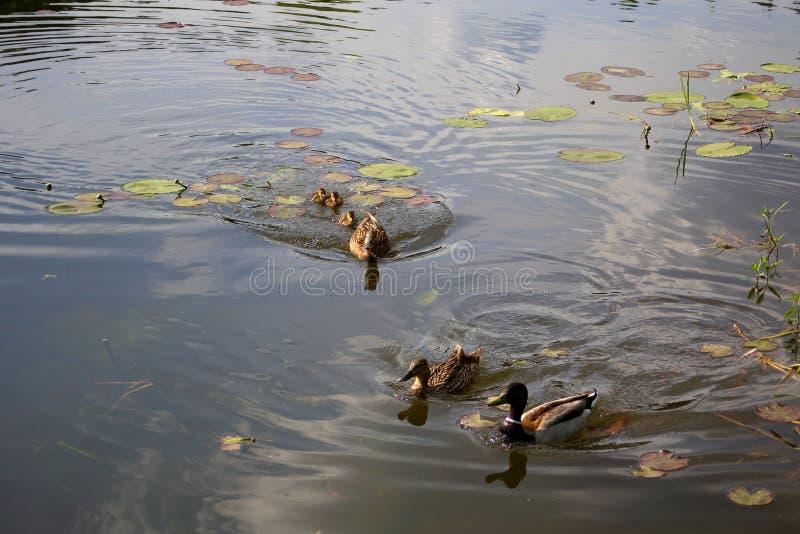 Un'anatra della madre difende una nidiata degli anatroccoli recentemente covati da altre anatre fotografia stock