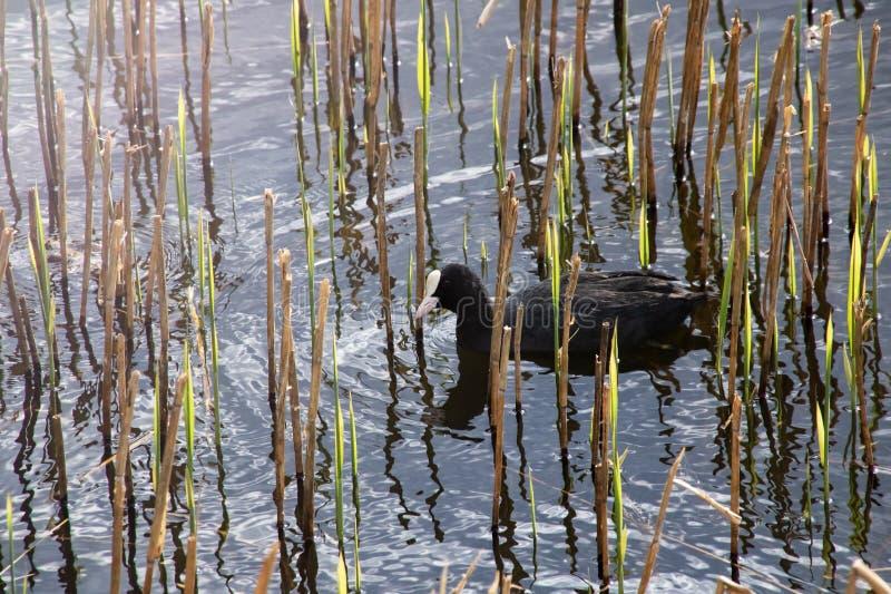 Un'anatra sta nuotando nell'acqua immagini stock