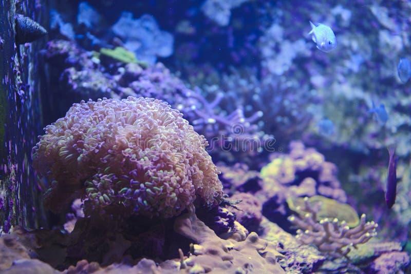 un anemone di mare in un carro armato di pesce immagine stock