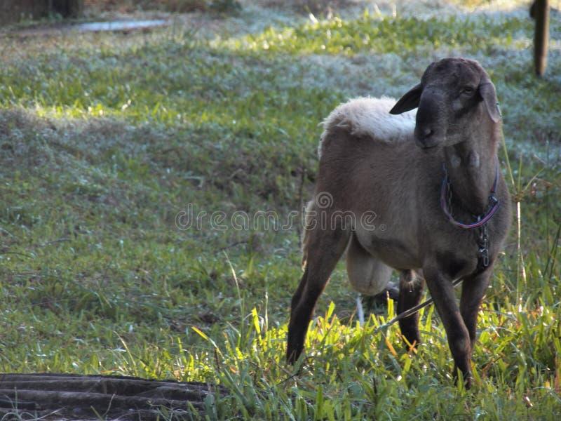 Un animal del campo la cabra de montaña fotografía de archivo libre de regalías