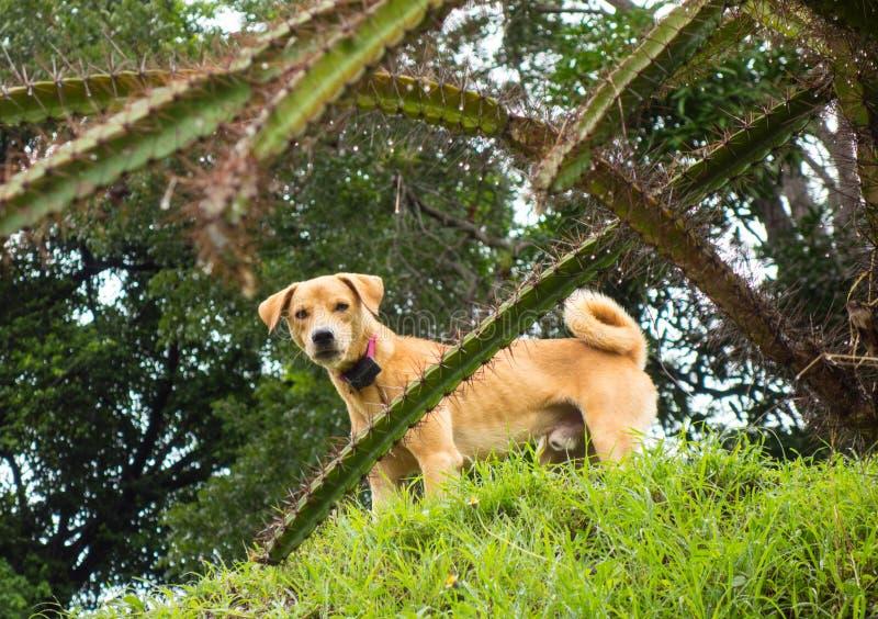 Un animal familier scrutant par le cactus des Caraïbes image stock