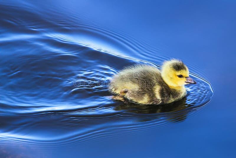 Un ansarón del bebé nada en agua azul del espejo foto de archivo