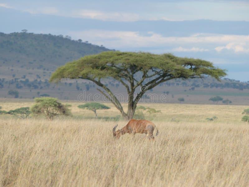 Un antílope en Serengeti foto de archivo libre de regalías