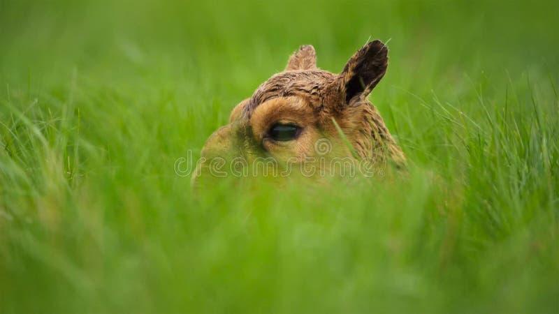 Un'antilope di saiga del bambino Finché non possano stare, la loro madre li ha lasciati nascosti nell'erba Dovrebbero essere sicu fotografie stock libere da diritti