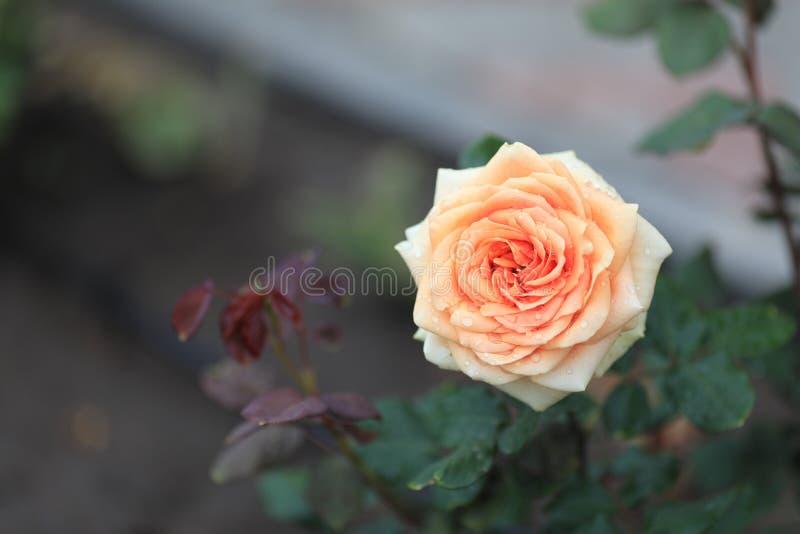 Un apacible, rosa del rosa fotografía de archivo libre de regalías