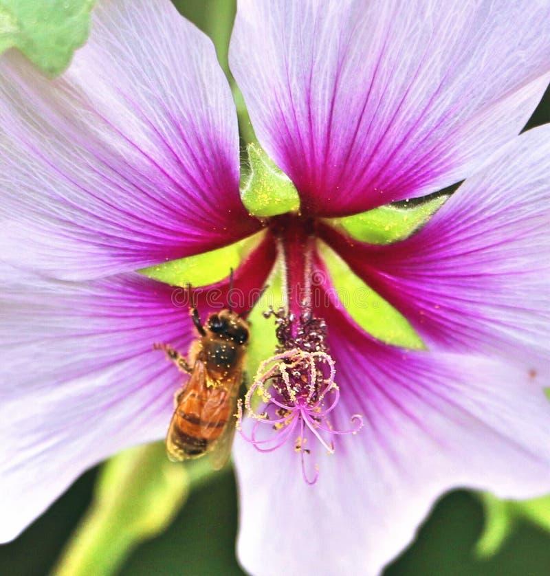 Un'ape che impollina un fiore fotografie stock