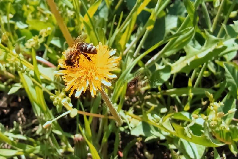 Un'ape che raccoglie nettare da un fiore del dente di leone fotografia stock libera da diritti