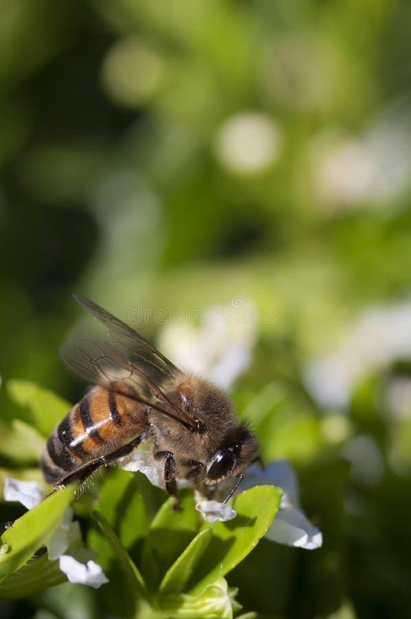 Un'ape che si siede su un fiore bianco fotografie stock
