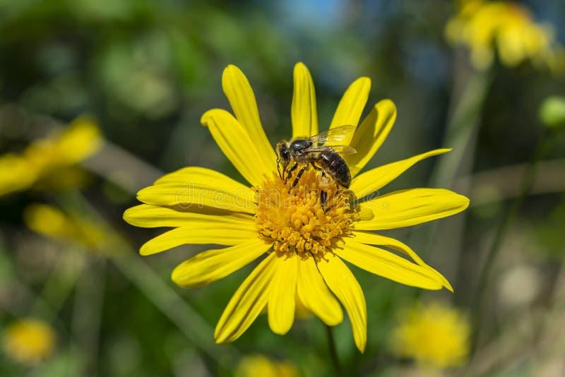 Un'ape con le sue gambe piene di polline che riposa su una margherita gialla fotografie stock