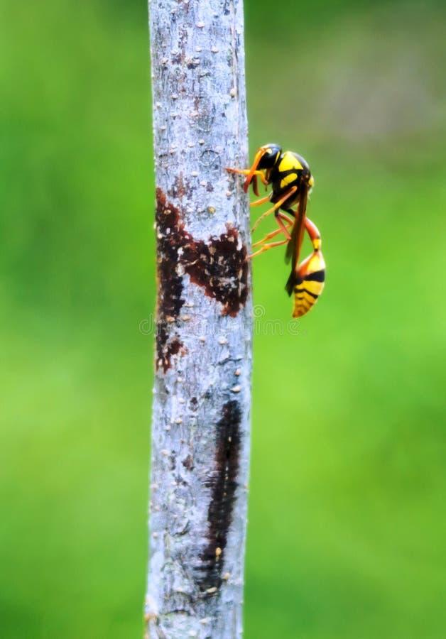 Un'ape del calabrone del rivestimento giallo fotografie stock libere da diritti