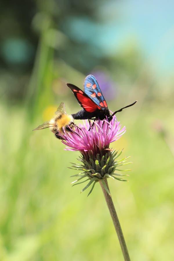 Un'ape e una farfalla dividono un fiore immagini stock libere da diritti