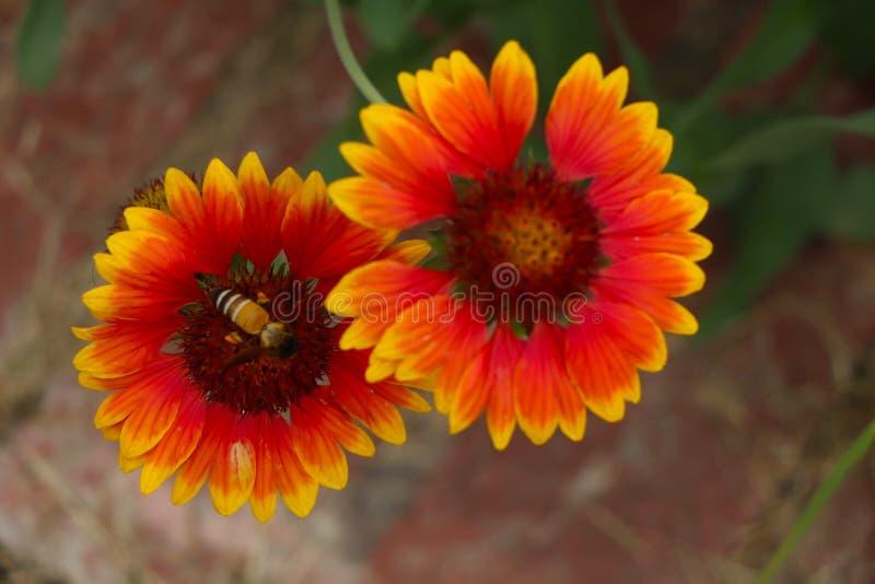 Un'ape mellifica su un fiore giallo arancione fotografia stock libera da diritti