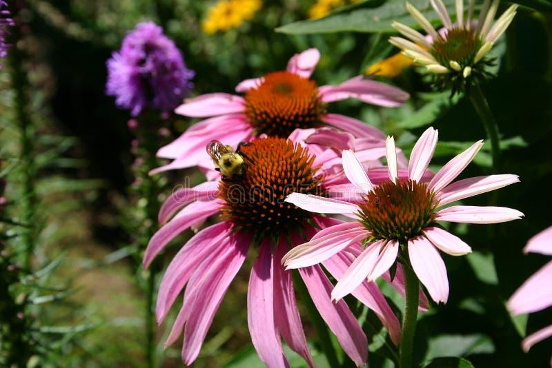 Un ape nel giardino 3 fotografia stock