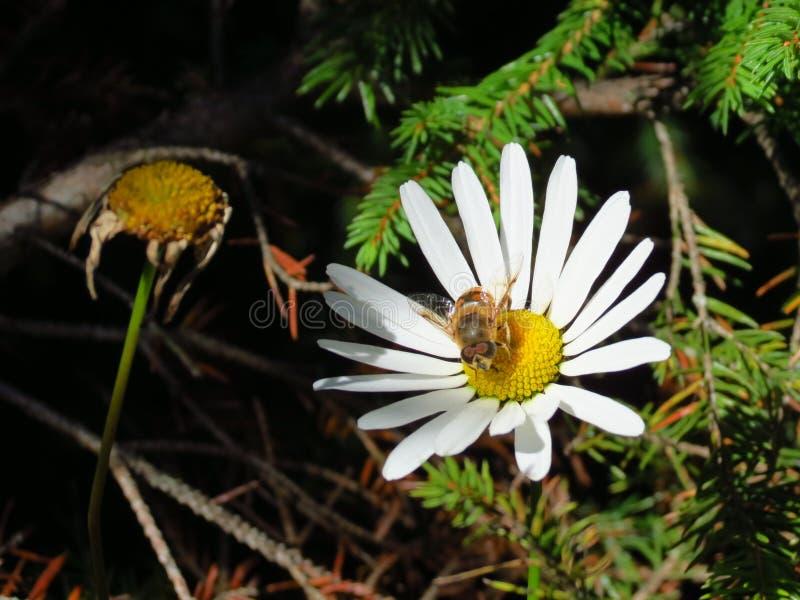 Un'ape raccoglie il nettare da una camomilla della montagna immagine stock