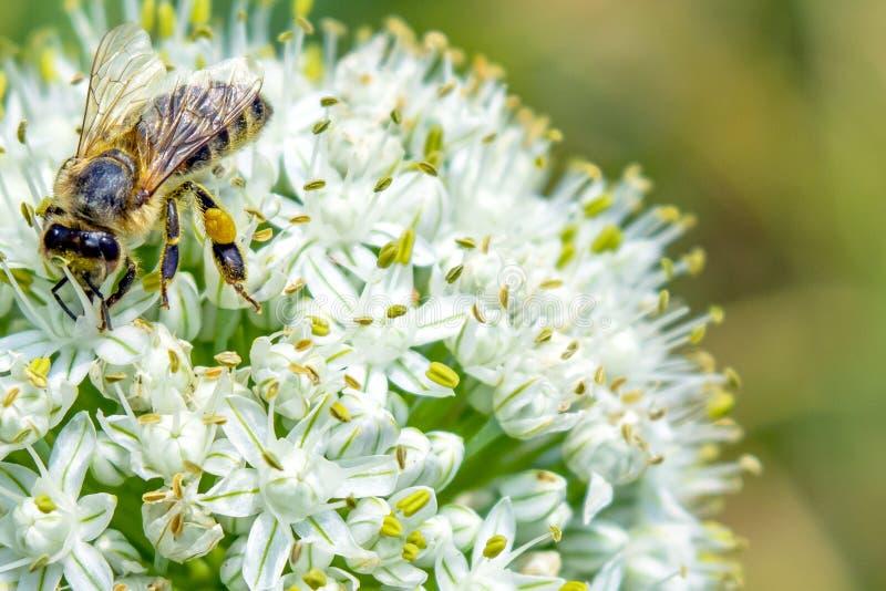 Un'ape si siede su un bello fiore bianco L'ape impollina il fiore della cipolla fotografie stock libere da diritti