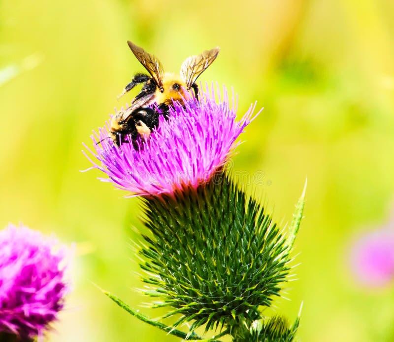 Un'ape su un fiore: Nettare bevente fotografia stock libera da diritti