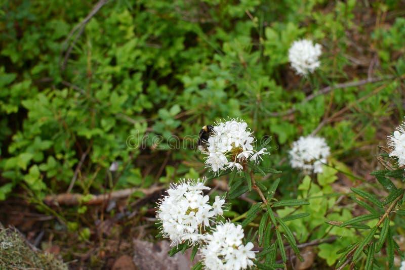 Un'ape sveglia della foresta sul fiore bianco fotografie stock libere da diritti