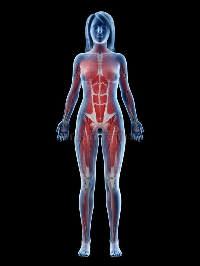 Un appareil musculaire de femelles illustration libre de droits