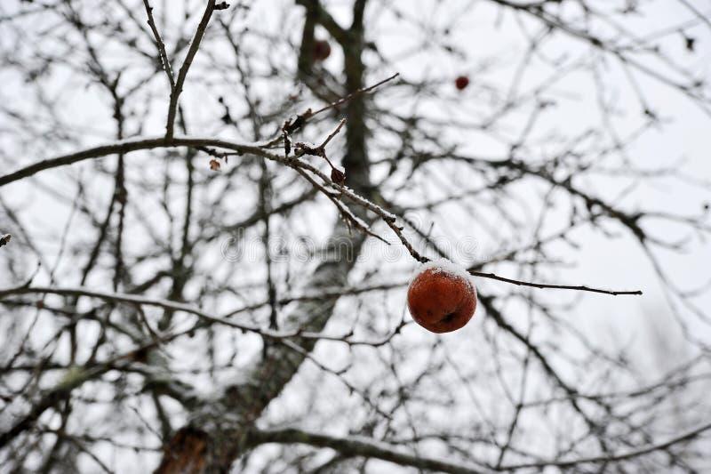 Un Apple congelé sur une branche d'arbre sans feuilles photos stock