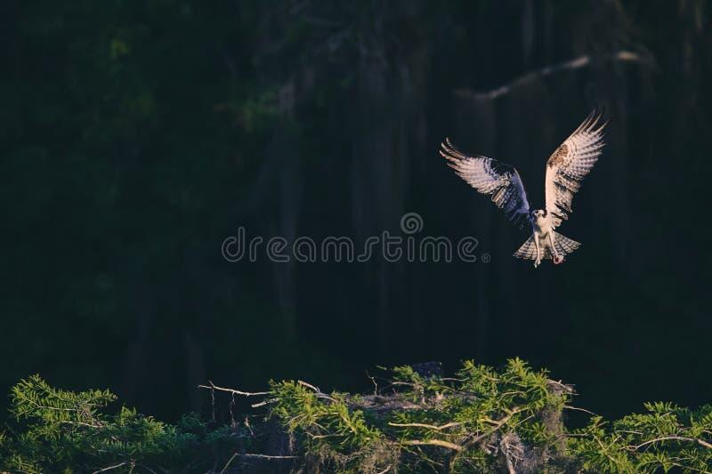 Un'aquila con le ali completamente estese fotografie stock libere da diritti