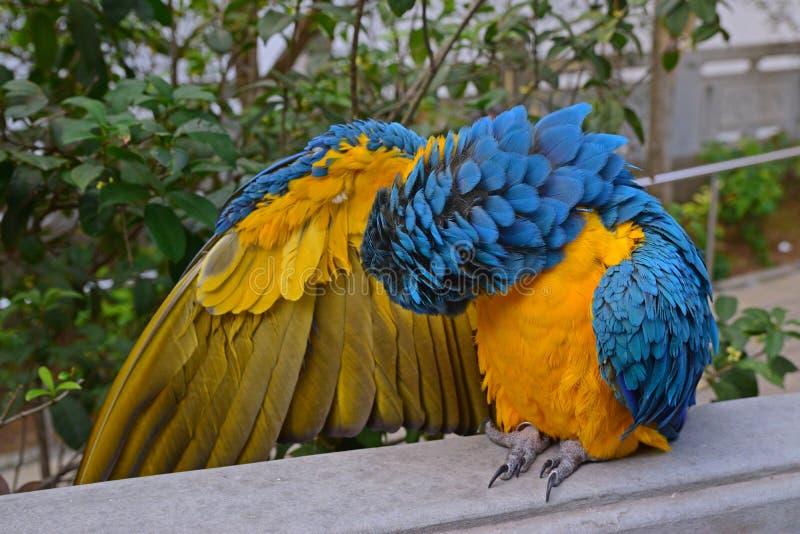 Un ara bleu-et-jaune nettoyant ses propres plumes tout en augmentant sa droite photos libres de droits