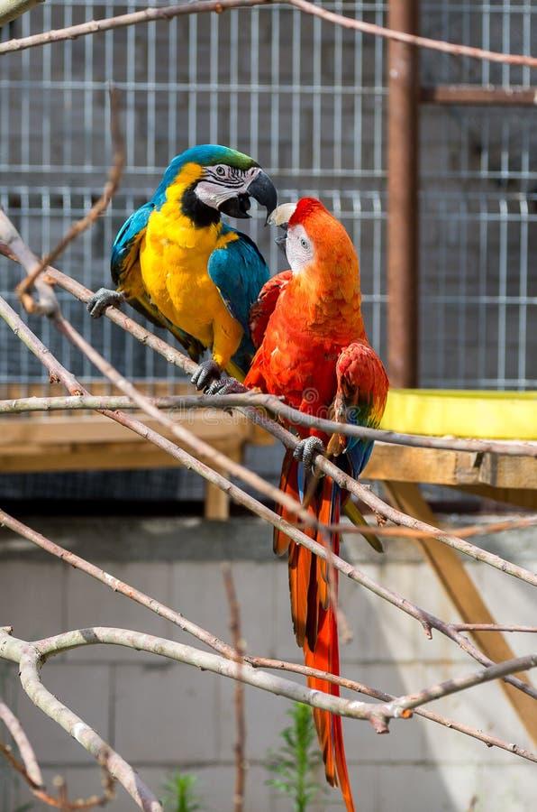 Un'ara di due pappagalli immagine stock libera da diritti