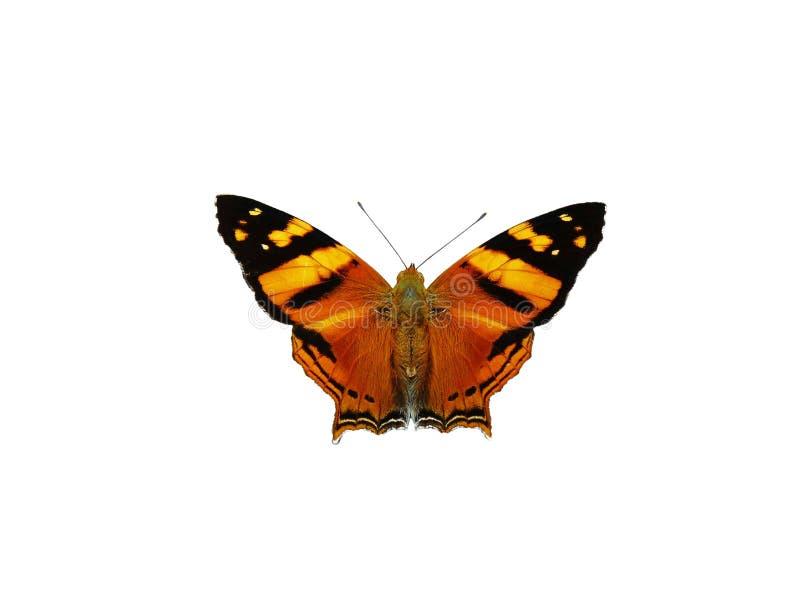 Un'arancia isolata con la farfalla nera contro un fondo bianco immagine stock
