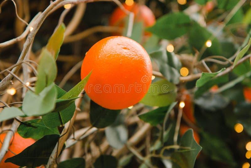 Un'arancia succosa che si sviluppa su un albero Giardino arancione Frutta arancio fotografia stock libera da diritti