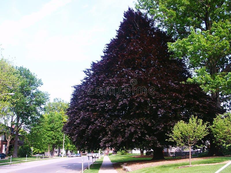 Un arbre énorme dans le campus photo stock