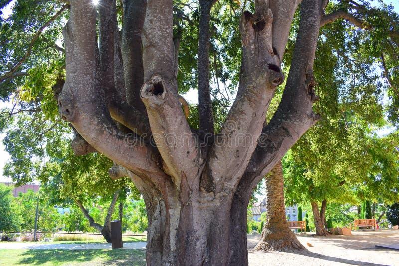 Un arbre étonnant avec plusieurs troncs se développe en parc photographie stock libre de droits