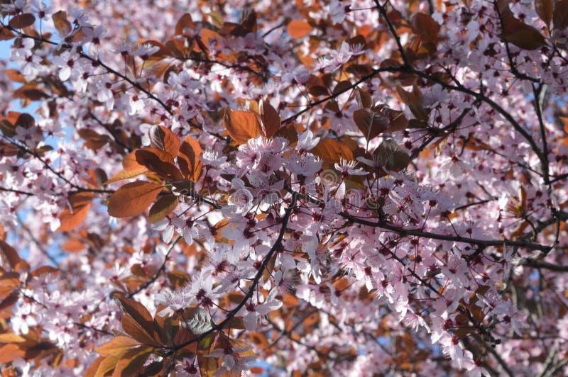 Un arbre au printemps images libres de droits