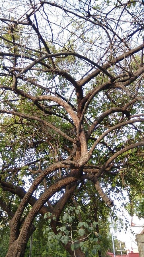 Un arbre avec beaucoup de membres de diffusion photographie stock