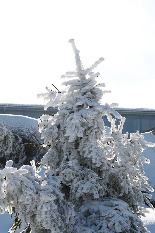 Un arbre avec beaucoup de neige en hiver dans les montagnes de Harz photos libres de droits