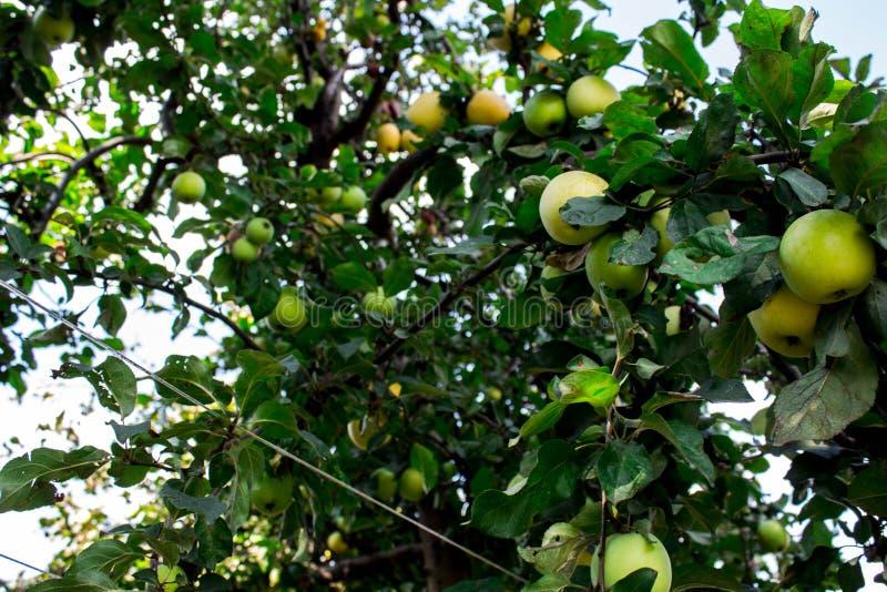 Un arbre avec des pommes dans l'arrière-cour image libre de droits