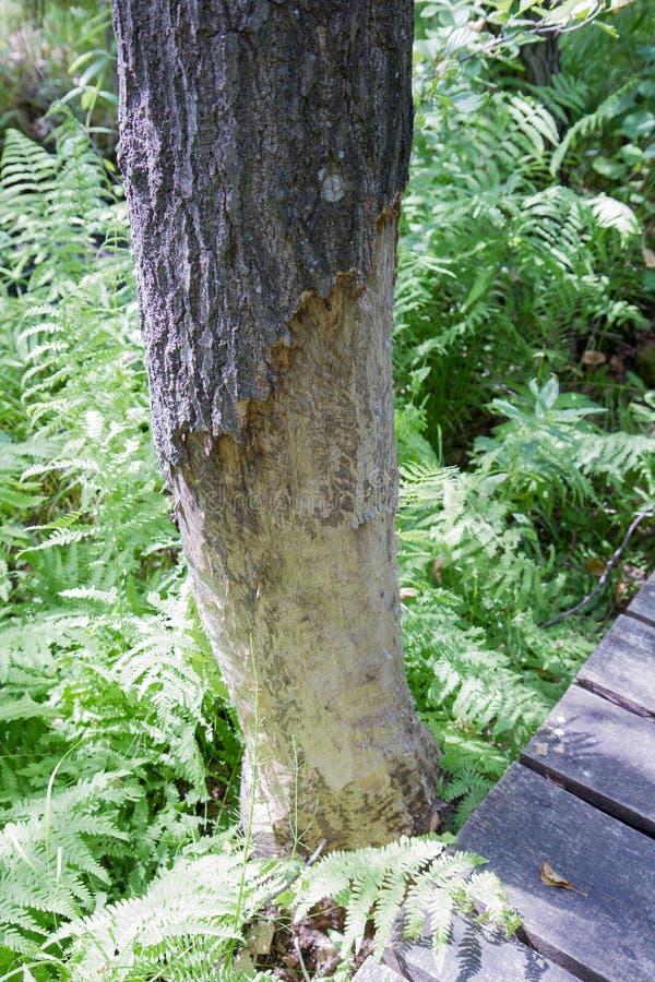 Un arbre avec l'écorce endommagée image libre de droits