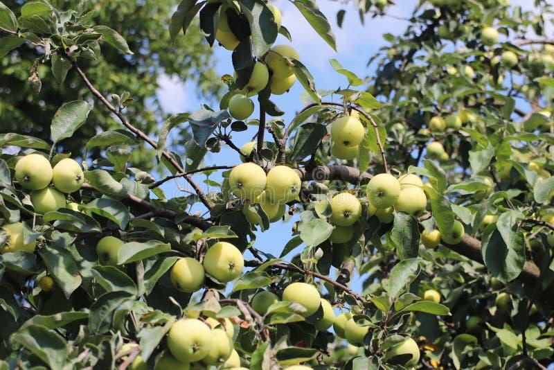 Un arbre avec mûrir des fruits d'une pomme verte Le vintage porte des fruits des riches en vitamines Arbres fruitiers pour le jar images stock