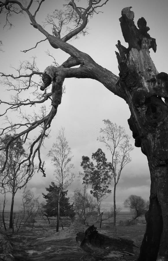 Un arbre brûlé se tenant toujours image stock