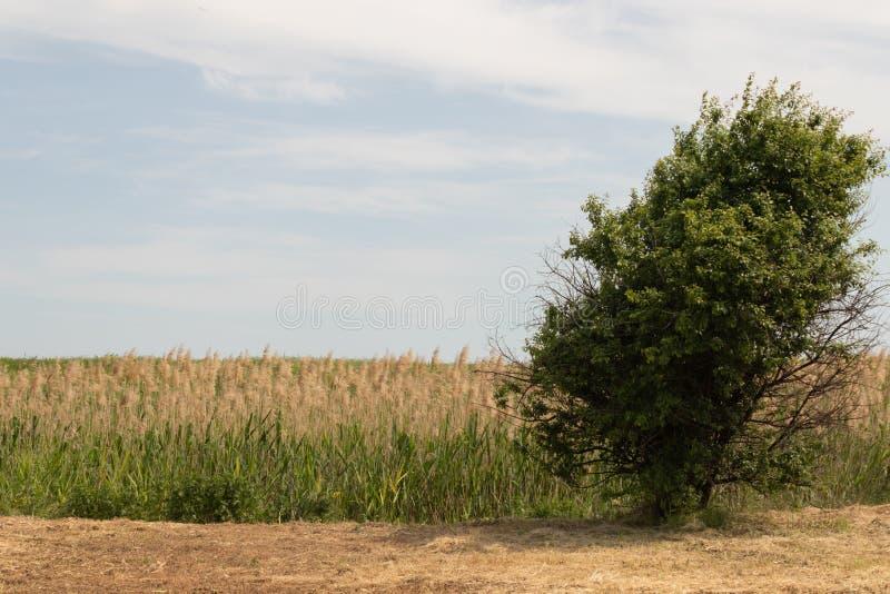 Un arbre croissant isol? au milieu d'un champ ? l'arri?re-plan est un hall photos libres de droits