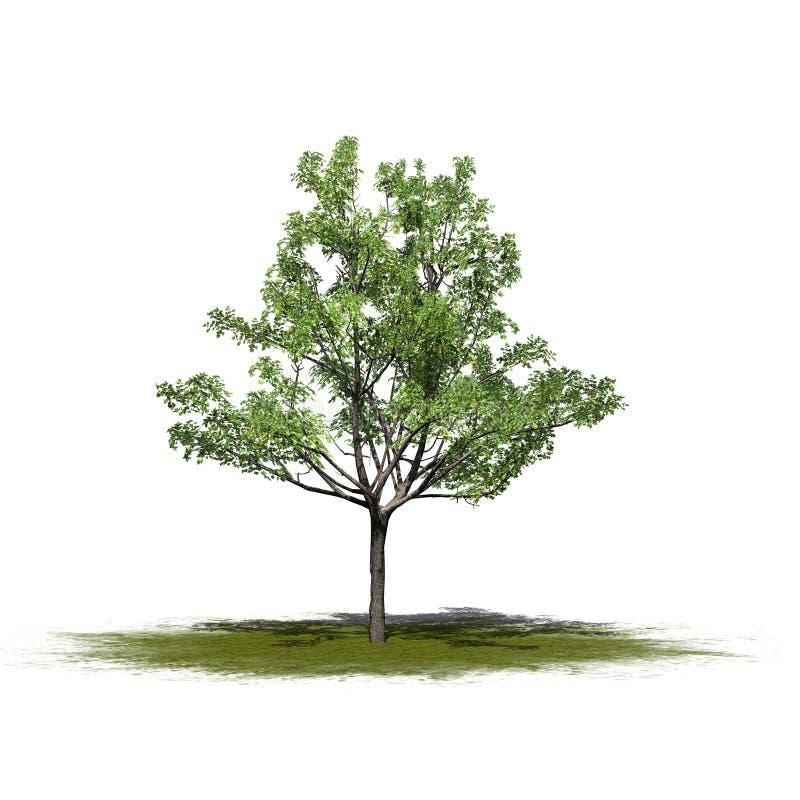 Un arbre d'érable japonais simple sur un espace vert illustration libre de droits