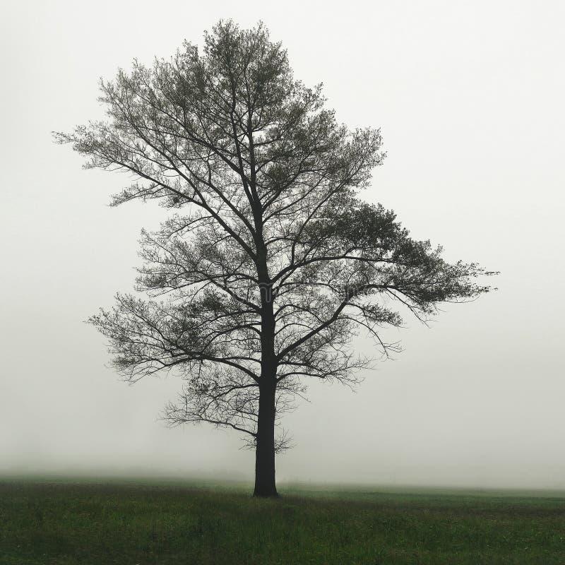 Un arbre dans le domaine dans le brouillard Un arbre isolé simple dans un domaine brumeux de ferme dans la brume et la brume de  images libres de droits