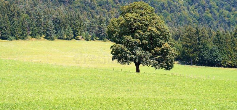 Un arbre dans un pré photo libre de droits