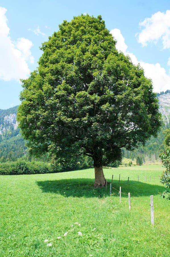 Un arbre dans un pré photographie stock libre de droits