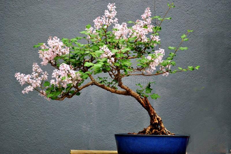 Un arbre de bonsaïs images libres de droits