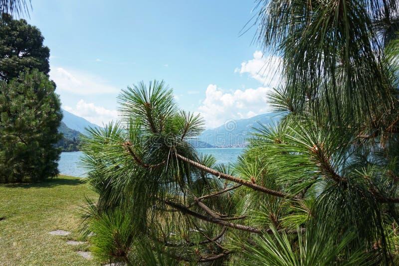 Un arbre de conifère se développe sur les rivages du lac Como Bellagio I Giardini di Villa Melzi photographie stock