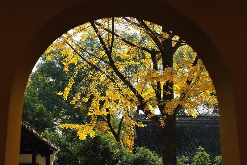 Un arbre de ginkgo dans le jardin image libre de droits