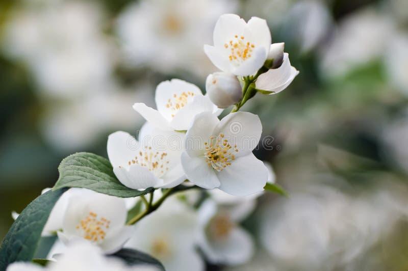 Un arbre de jasmin images stock